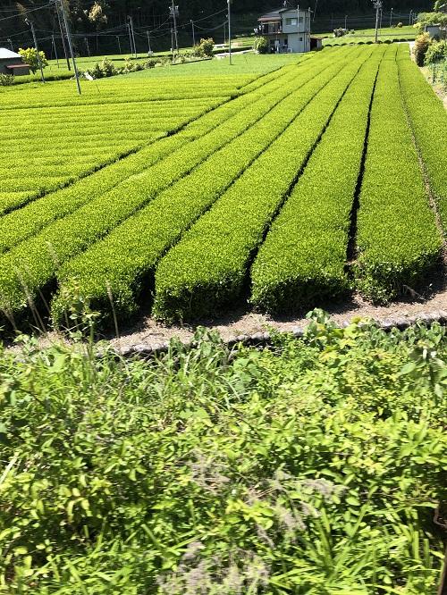家山駅周辺の茶畑その3