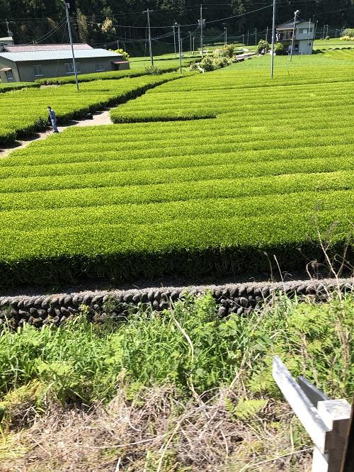 家山駅周辺の茶畑その1